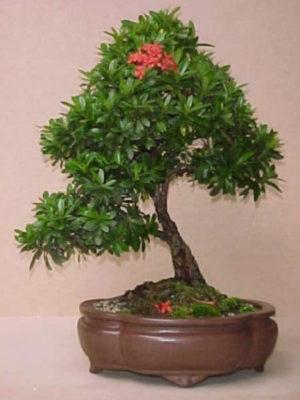 cay trang thai bonsai