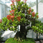 trang thái bonsai
