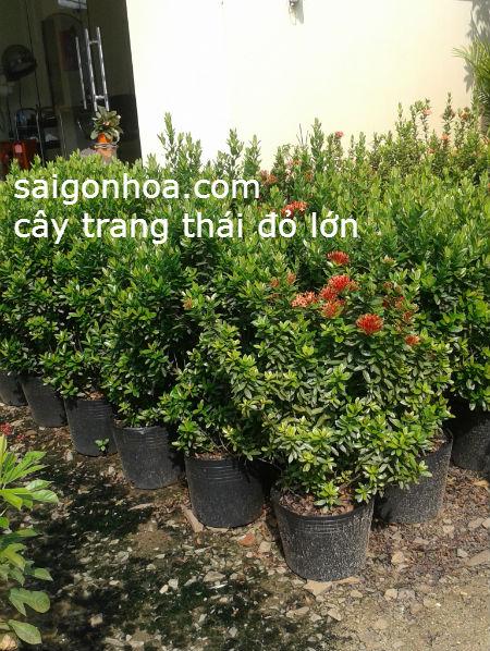 Cay Trang Thai Do Loai Lon