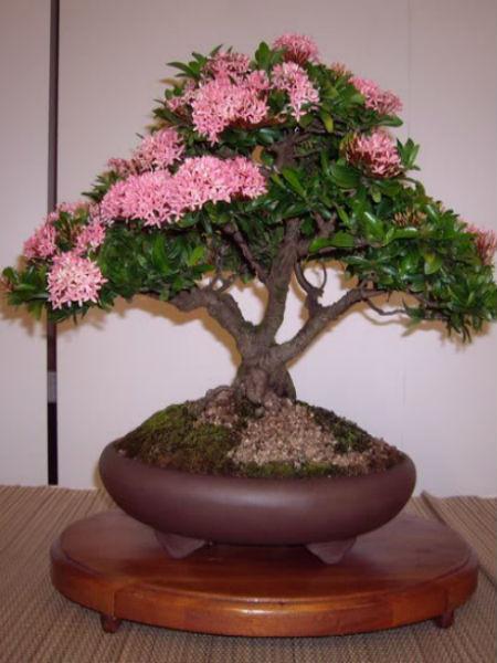 Cay Trang Hồng Bonsai Sai Gon Hoa