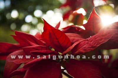 hoa Poinsettia