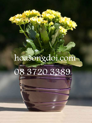 Hoa Song Doi Don Mau Vang