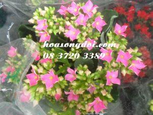 Hoa Song Doi Mau Hong