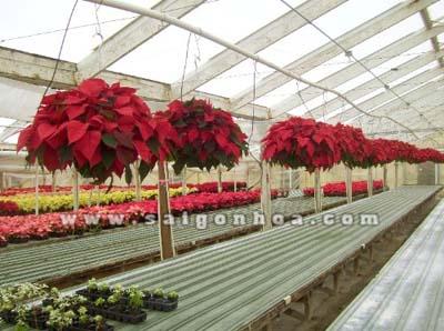 hoa trang nguyen chau treo 2