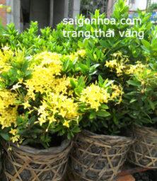 Trang Thai Vang