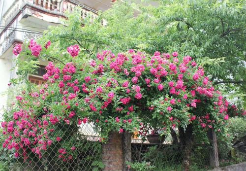 cay hoa hong leo- cay co hoa trong gian