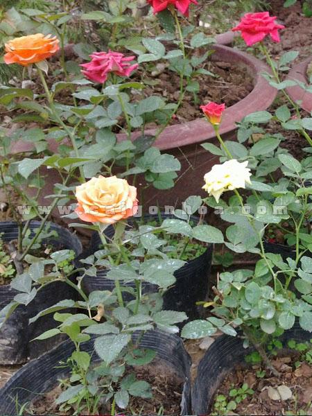 goc hoa hong 2