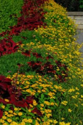hoa cuc mat troi trong san vuon