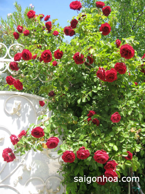 hoa hong leo gian trong vien