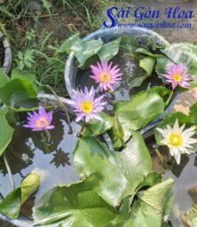 Hoa Sung Thai Lai