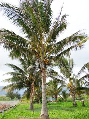 Cay Dua Cong Trinh