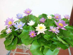 cay hoa sung thai