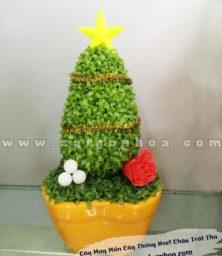 Cay May Mang Thong Noel
