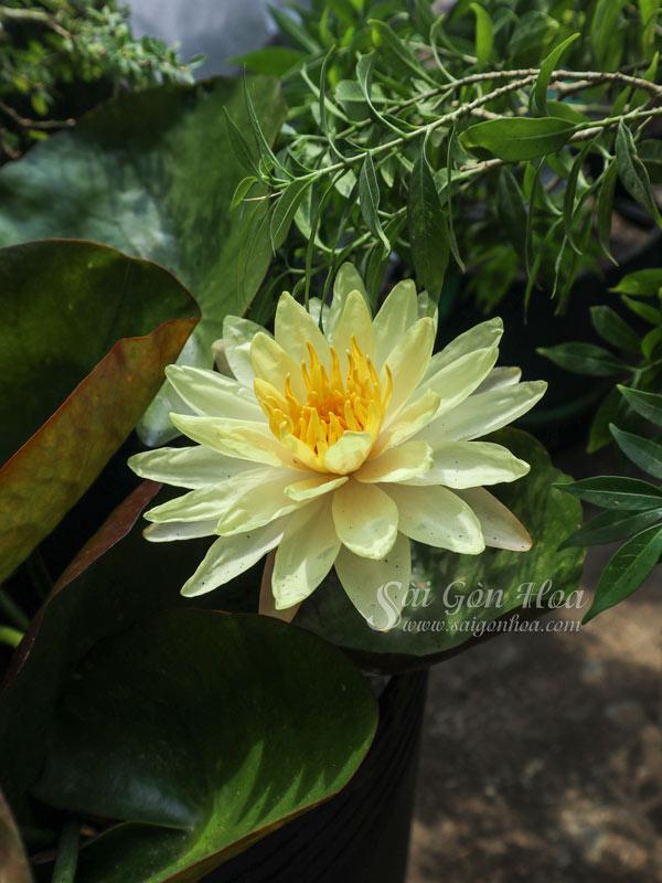 Dac Diem Hoa Sung Thai