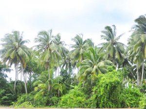 Hang Cay Dua