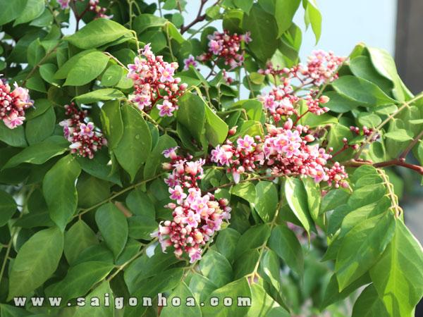 Hoa Cây Khế