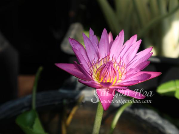 Hoa Cay Sung Thai Lai