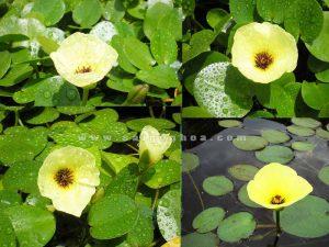 hoa cay thuy quynh