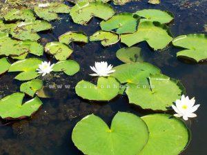 la cay hoa sung