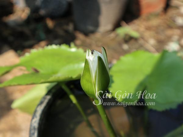 Nu Hoa Sung Thai