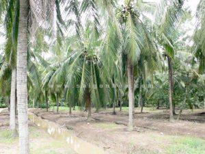 Vuon Cay Dua