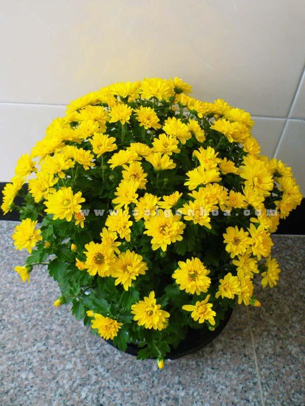 chau cuc tiger vang - Trang trí hoa cúc cho sân vườn, nhà ở ngày halloween