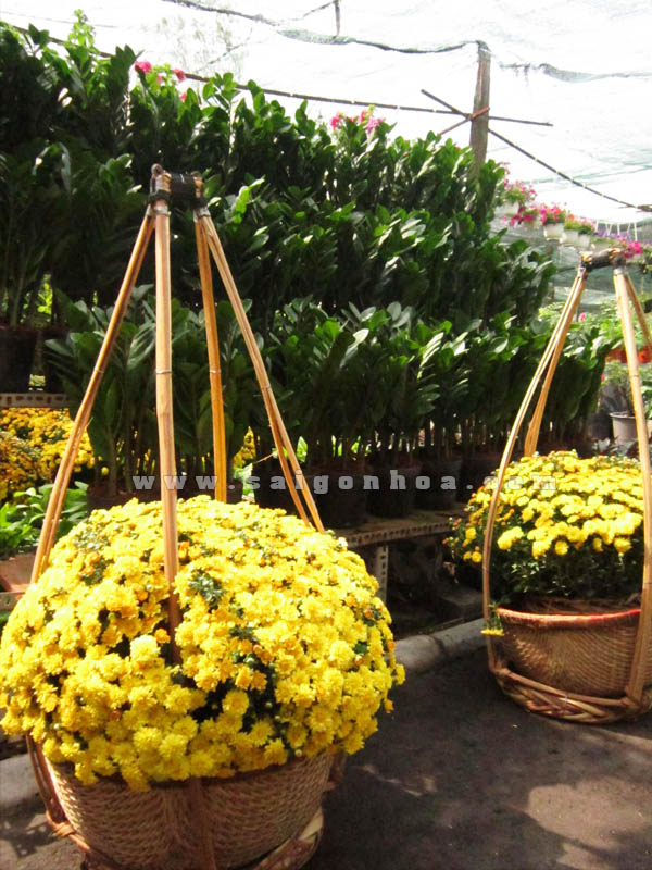 ganh hoa cuc mam xoi