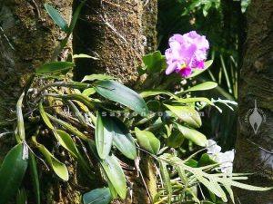 Hoa Lan Cattleya Ghep