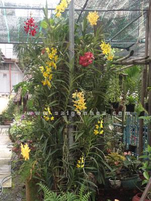 Hoa Lan Mokara Ghep Goc Cay