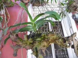 Hoa Lan Vanda Ghep Goc Cay