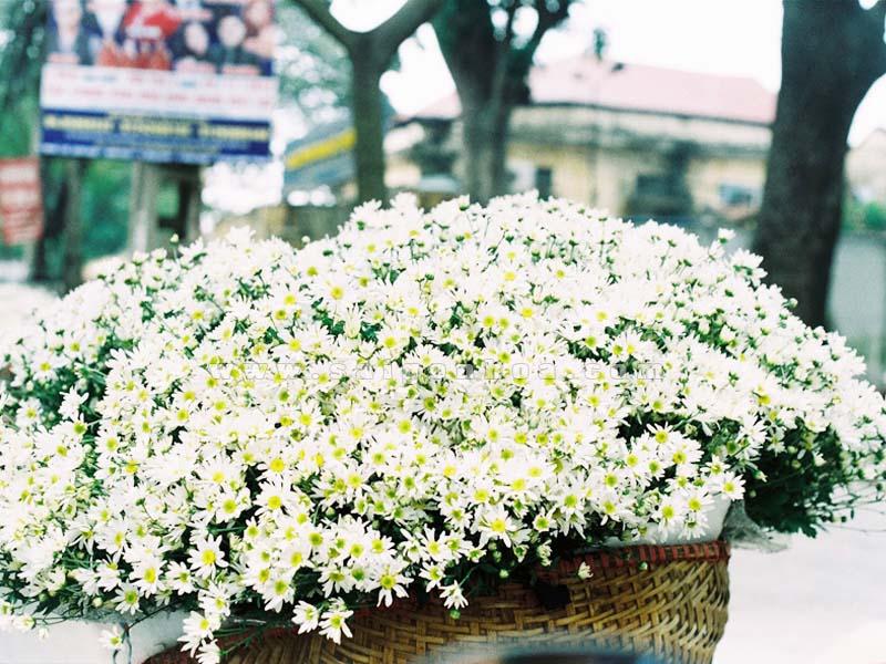 Hoa Cúc Họa Mi - Sài Gòn Hoa