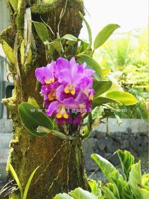 Lan Cattleya Ghep Goc Cay