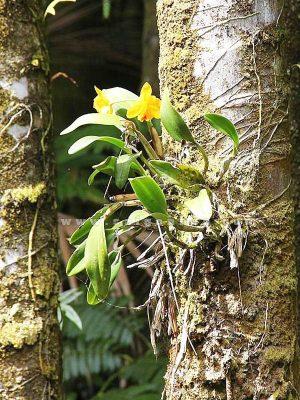 Lan Cattleya Ghep Than Cay