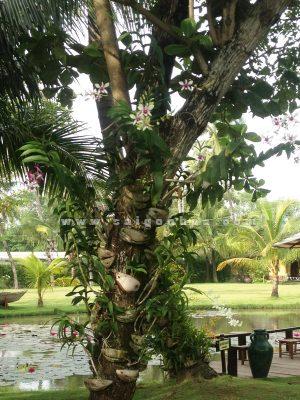 Lan Dendro Ghep Goc Cay