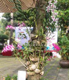 Lan Dendro Sonia Ghep Goc Cay
