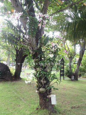 Lan Sonia Ghep Goc Cay