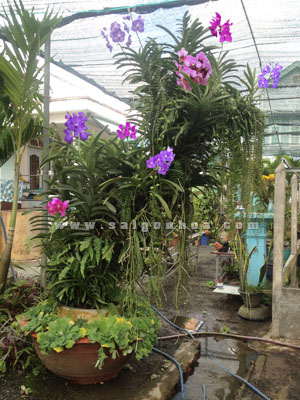 Lan Vanda Hoa Ghep Goc Cay