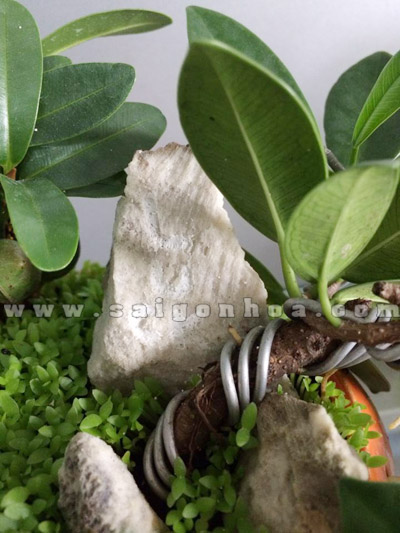 tieu canh may man bonsai chau bi