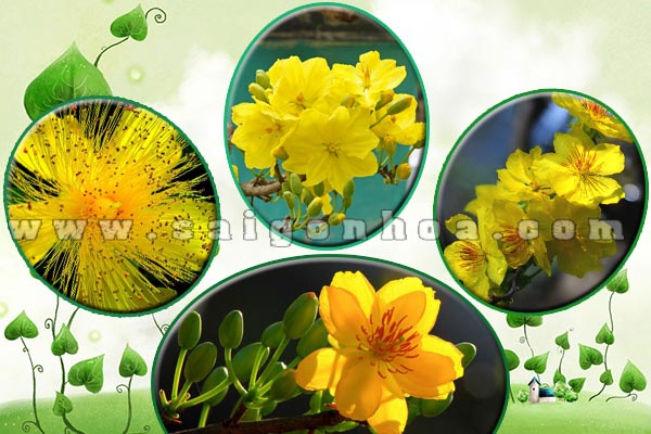 cay hoa hoa mai tet trang tri sanh toa nha 10
