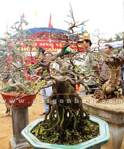 cay hoa mai bonsai 4