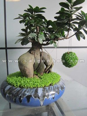 cay may man bonsai chuc mung nam moi 1