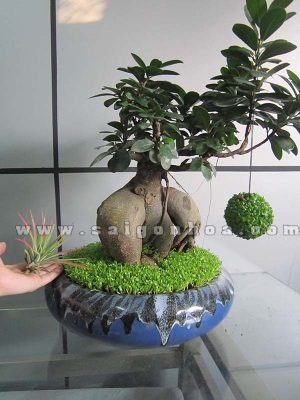 cay may man bonsai chuc mung nam moi 2