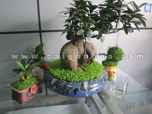 cay may man bonsai chuc mung nam moi 3