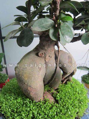 cay may man bonsai chuc mung nam moi 4