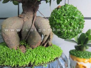 cay may man bonsai chuc mung nam moi 5