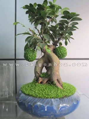 cay may man bonsai chuc mung nam moi 8
