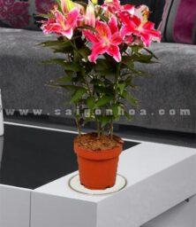 Chau Hoa Lily De Ban Dai Dien