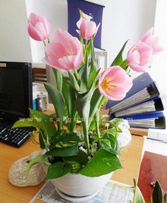 Chau Hoa Tulip De Ban
