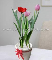 Chau Tulip De Ban