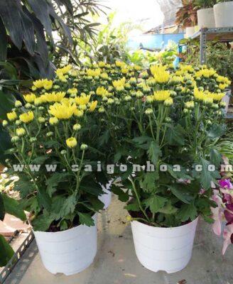 Hoa Cuc Da Lat Chau Nhua